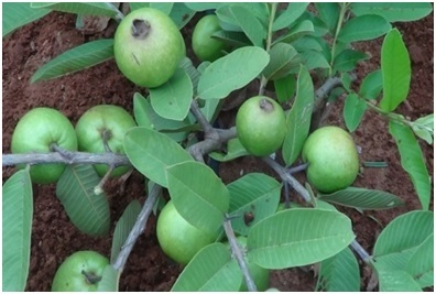 High density meadow orcharding of guava